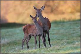 Rottier und Kalb