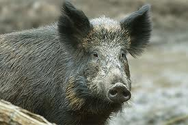 Wildschwein guckt