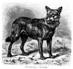 Wolf_Brehm