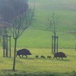 Blechschweine_2